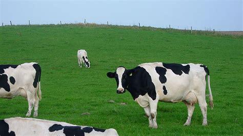 imagenes con movimiento vacas vacas 1920x1080 fondos de pantalla y wallpapers