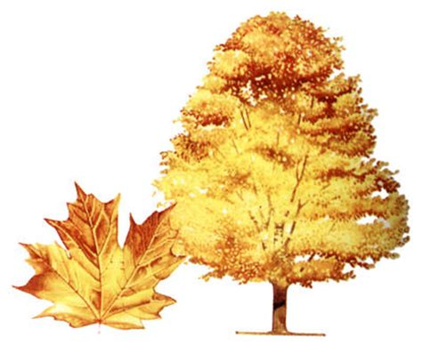 maple tree symbolism why is the maple leaf canada s national symbol
