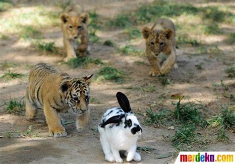 Bantal Macan Dan Singa foto lucunya anak harimau dan singa belajar berburu kelinci merdeka