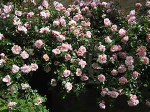 Indoor Plant Design Albertine Climbing Rose Hello Hello Plants Amp Garden Supplies