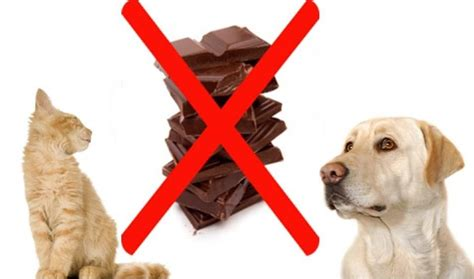 signs of chocolate poisoning in dogs chocolate poisoning in dogs symptoms thin