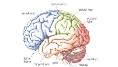 Bahasa Inggris Sistem 52m Volume 2 Oleh Herpinus Simanjuntak pengertian bagian struktur dan fungsi otak terlengkap pelajaran sekolah