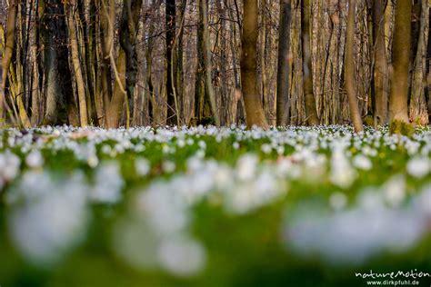 teppich göttingen buschwindr 246 schen anemone nemorosa ranunculaceae dichter