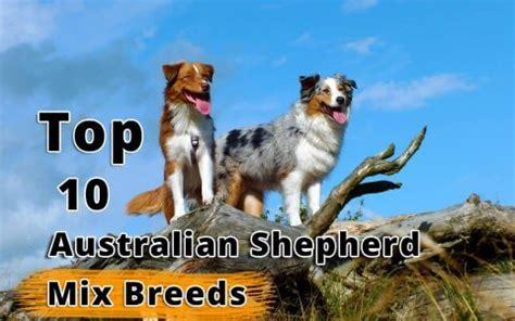 pug cross breeds australia top 10 cross breeds designer of pug by dogmal