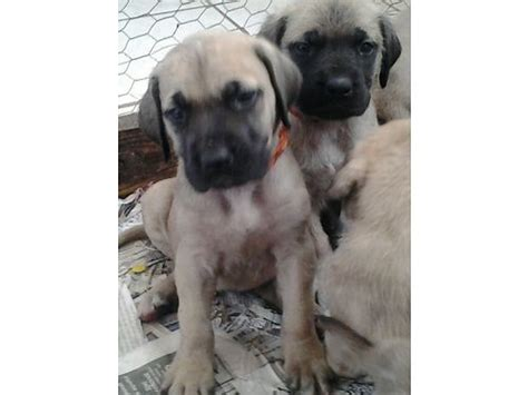 mastiff puppies az mastiff puppies akc registered tucson az dogs