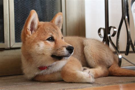 are foxes dogs looks like a fox breeds picture