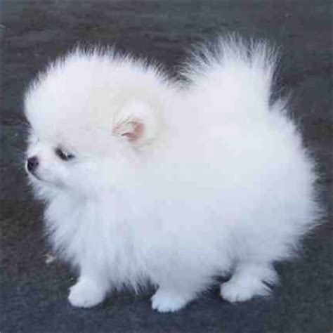 tiny teacup pomeranian puppies for sale in ohio tag for micro teacup puppies for sale cheap about cheap yorkie puppies for sale free