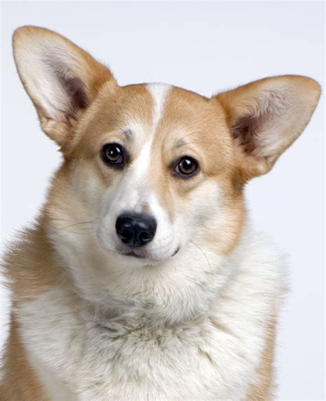 where to buy corgi puppies cardigan corgi breed information noah s dogs