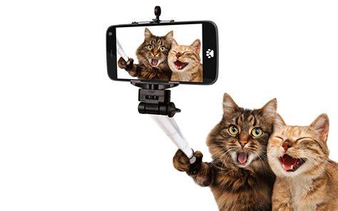 wallpaper chat humour fonds d ecran chat domestique deux smartphone fond blanc
