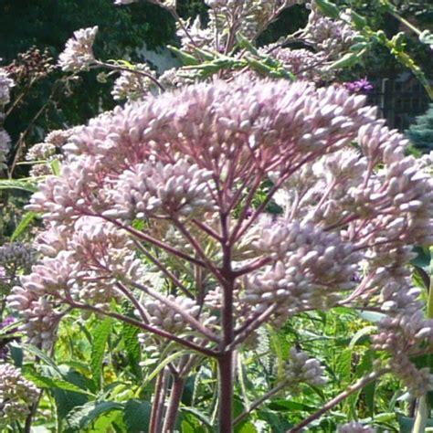 purple joe pye weed eupatorium purpureum plants