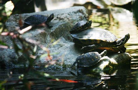 Masker Ponds why i don t like turtles in my ponds pond trade magazine