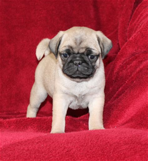 pug puppies for sale in pa pug puppies for sale in pa lancaster puppies 174