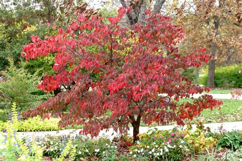 pagoda dogwood fall color www pixshark com images galleries with a bite