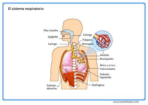 imagenes del sistema respiratorio ingles juego interactivo del cuerpo humano para ni 241 os