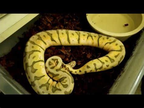 ball python bedding bedding for ball python mesmerizing ball python care sheet