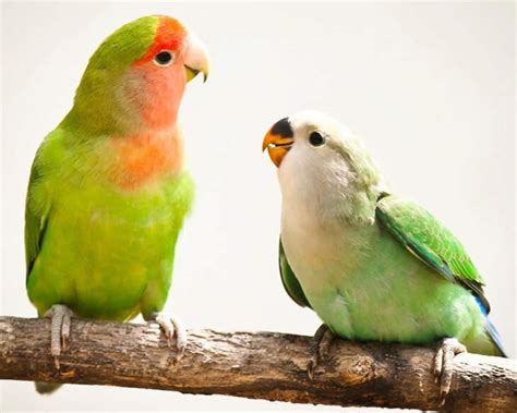 choosing the right pet bird