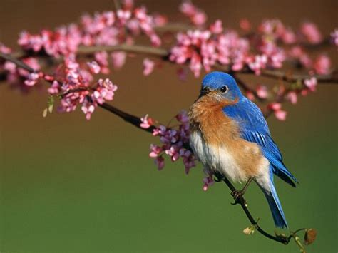 bluebirds bluebird pictures bluebird facts national