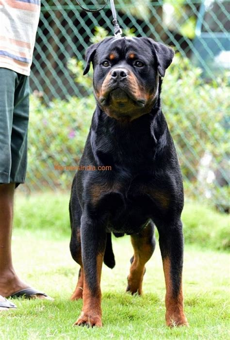 rottweiler india rottweiler puppies for sale in kerala kozhikode