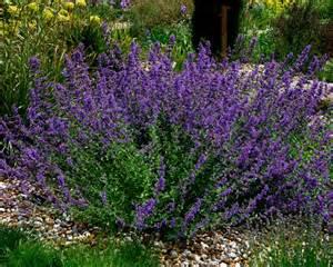 Grey Foliage Plants - gardensonline nepeta x faassenii