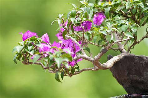 Bougainvillea Pflanze Winterhart 6740 by Drillingsblume Bougainvillea Als Bonsai