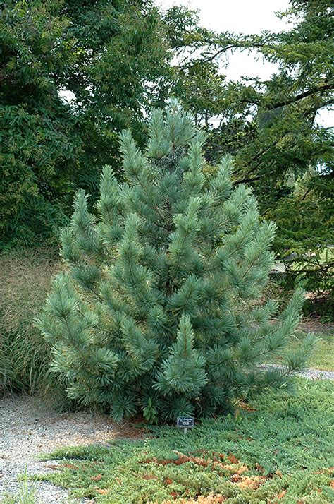 morris blue korean pine pinus koraiensis morris blue