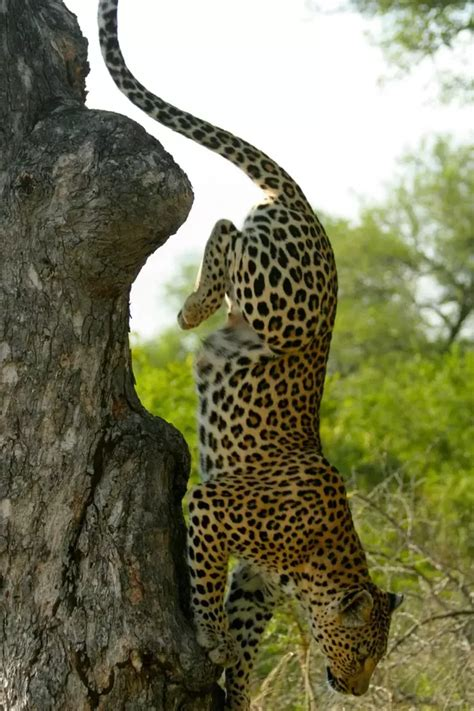 whats the difference between a leopard and a jaguar what is the difference between a cheetah and a leopard