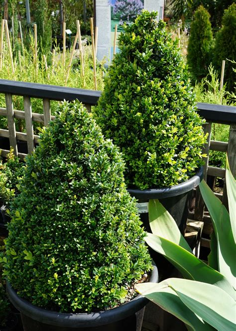english box topiary cones   plants garden