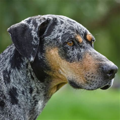catahoula cur puppies catahoula cur breed guide learn about the catahoula cur