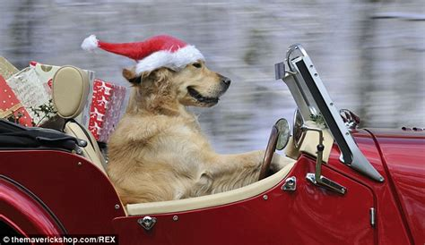 golden retriever driving s world from a bulldog in a bowler to a corgi in a