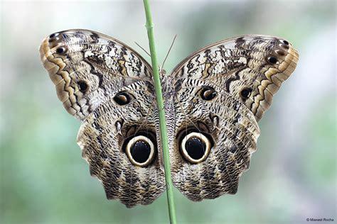 borboleta coruja caligo brasiliensis essa foto