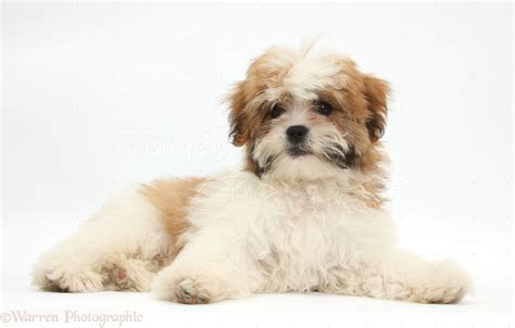 shih tzu photography maltese x shih tzu pup photo wp35248