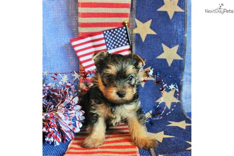 yorkie puppies for sale in albuquerque terrier yorkie puppy for sale near albuquerque new mexico 8b780225 c5f1
