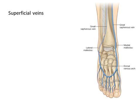 Similiar Foot Vein Anatomy Keywords