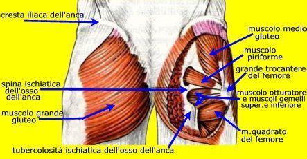 muscoli sedere anatomia il gluteo i glutei