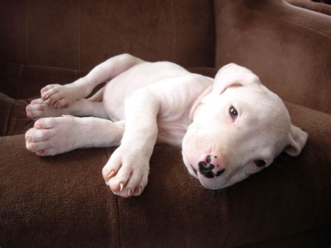 puppies on dogo argentino puppy on the wallpapers and images wallpapers pictures photos