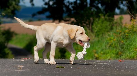 my puppy keeps biting how to stop your labrador chewing things