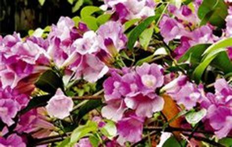 bunga euphorbia penyebab kankerharga euphorbiacara