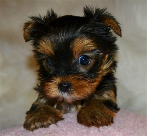 miniature yorkies for sale in louisiana teacup yorkie puppies for sale autos post