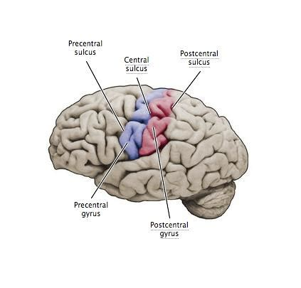 brain functions/ definitions/ location educational