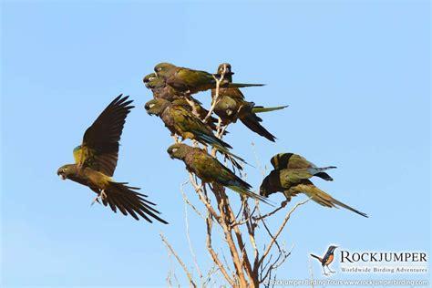 burrowing parrots jonathan rossouw rockjumper birding