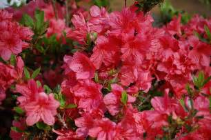 azalea bush colors learn how to grow and care for azaleas