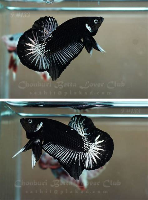 Cupang Plakat Cooper black and copper halfmoon plakat the butterfly