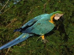 macaw species wwf