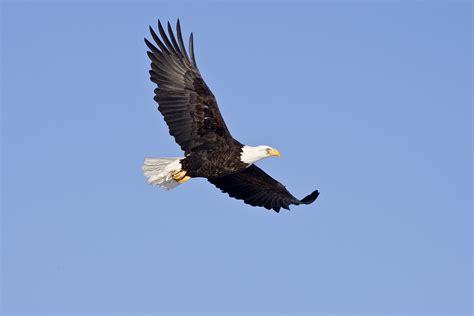 der weisskopfseeadler majestaet  kanadas himmel