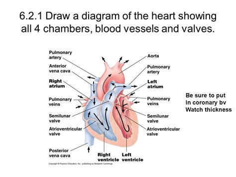 valves of the diagram sl review anatomy ppt