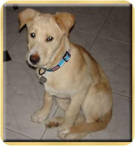 golden retriever airedale mix puppies golden retriever airedale mix breeds picture