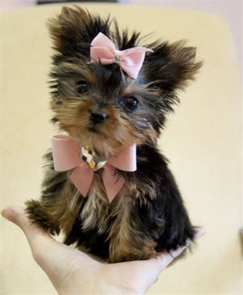 teacup yorkie haircuts pictures teacup husky full grown yorkshire terrier yorkie