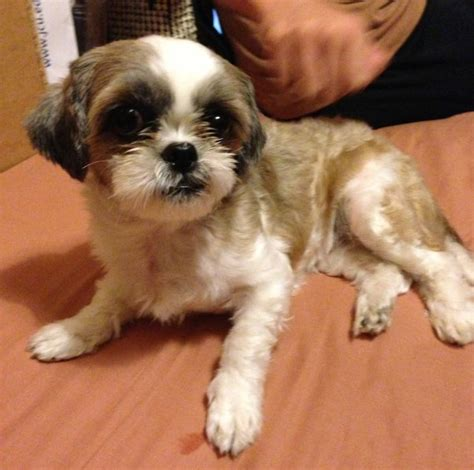 missing shih tzu you seen this missing shih tzu lost at tines