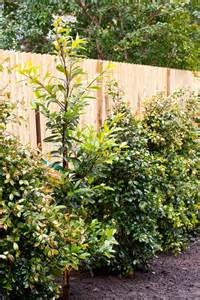 Best Backyard Landscaping Best Lilly Pilly Varieties Burke S Backyard