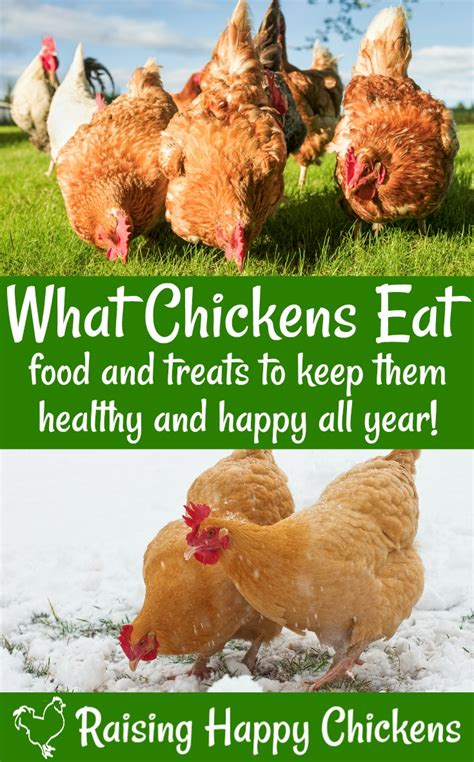 what do backyard chickens eat chicken nutrition what do backyard chickens eat